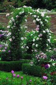 102 best vines climbing roses u0026 espaliers images on pinterest