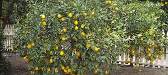 cross pollinate fruit trees