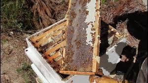 harvesting organic manuka honey from my beehive youtube
