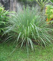 lemongrass buy at s annuals
