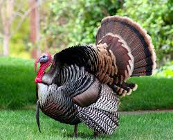 a price guide to organic turkeys in