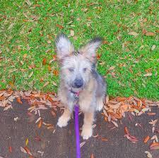 belgian sheepdog rescue texas houston tx german shepherd dog meet sadie a dog for adoption