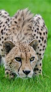 515 best cheetah images on pinterest wild animals animals and