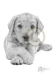 pencil drawing of a young labrador retriever puppy by artist gary