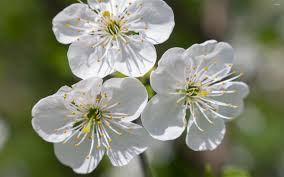 white cherry blossom three white cherry blossoms wallpaper flower wallpapers 51867