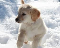 english cream golden retriever puppy all the best cream in 2017