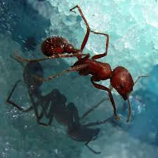 file ant closeup jpg wikimedia commons