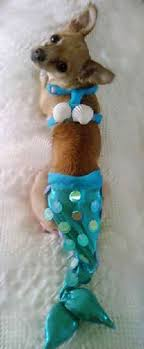 in costumes zoey the chihuahua as mermaid mermaid dog and sweet