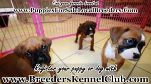 boxer dog rescue florida boxer puppies for sale in greenville county south carolina sc