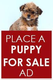 bichon frise for sale cheap puppies for sale lancaster puppies