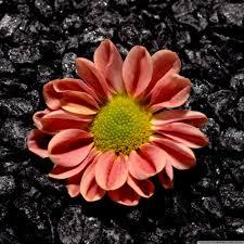 google images flower flower black background hd desktop wallpaper widescreen high