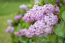 beautiful lilac bush in bloom right after a spring rain room