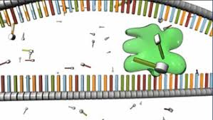 the information in dna is decoded by transcription learn science
