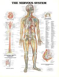Anatomy Structure Of Human Body Human Body Systems Lessons Tes Teach