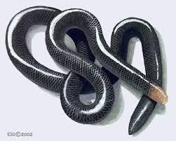 Blind Snake Hawaii 16 Best Blind Snakes U0026 Thread Snakes Infraorder Scolecophidia