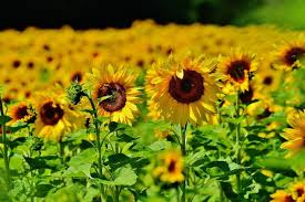 sunflower pictures sunflowers how to plant grow and care for sunflower plants