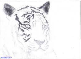 tiger pencil drawing step by step how to draw a white tiger draw a