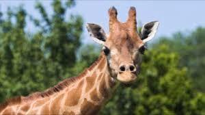 Meme Giraffe - giraffe meme youtube