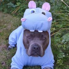 Bull Halloween Costume Pit Bull Halloween Costumes Popsugar Pets