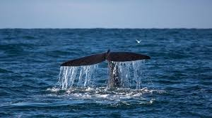 whale in iceland best places to go bookmundi