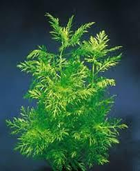 Tropical Aquatic Plants - 5 x water wisteria plant coldwater tropical aquarium plants