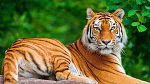 tiger meaning about tiger