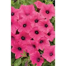 petunia flowers proven winners supertunia vista fuchsia petunia live plant pink