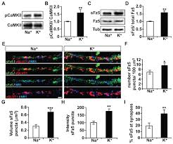frizzled 5 a receptor for the synaptic organizer wnt7a regulates