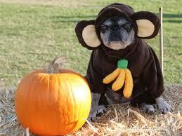 human dog costumes for halloween halloween u0027s cutest pet costumes anyarena
