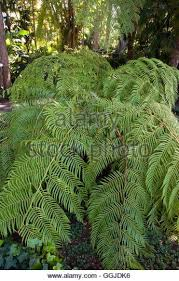 mexican tree fern stock photos mexican tree fern stock images