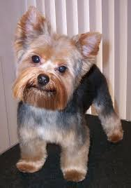 stunning yorkie hair cuts grooming for dogs yorkers pinterest dog yorkies and yorkshire