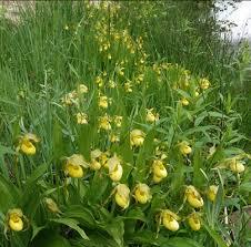 plants native to colorado southwest colorado wildflowers cypripedium parviflorum