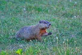 rid groundhogs woodchuck pest control