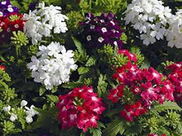 verbena flower verbena flower growing from seeds pictures of verbena care and