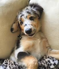 australian shepherd dog puppies 17 reasons australian shepherds are the worst possible breed of