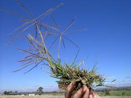 windmill grass identification growing conditions for windmill grass