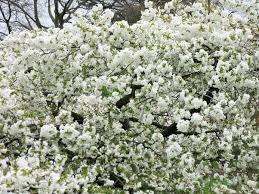 Flowering Cherry Shrub - prunus u0027shirotae u0027 japanese flowering cherry