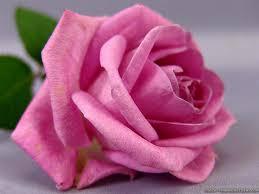 Cute Flower Wallpapers - pink rose wallpapers crazy frankenstein