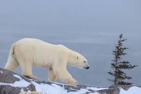 polar bear facts u0026 conservation polar bears international