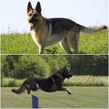 australian shepherd vs miniature american shepherd shepherd vs german shepherd what are they differences