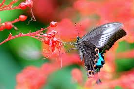 papilio butterfly metamorphosis butterfly