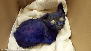 Taking Care Of A Blind Cat Kitten Dyed Purple Who U0027was Used As A Toy For A Dog U0027 Has U0027adopted