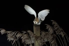 Barn Owl Photography Amazing Pics Of Barn Owl Taken By Amateur Photographer The