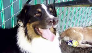 australian shepherd 2 noses would you adopt a dog with two noses meet two nose toby