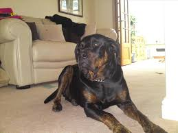 dachshund x australian shepherd rottweiler mix with great dane dog and cat