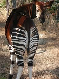 okapi everywhere okapis pinterest okapi giraffe and animal
