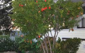 wonderful hardy pomegranate 1 gallon shrub tree fruit