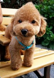 different toy poodle cuts toy poodle grooming cuts poodle forum standard poodle toy