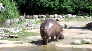 Baby Hippo Meme - world s biggest fart the hippo youtube