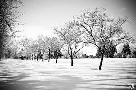 buy row of trees in the snow black white photo print options